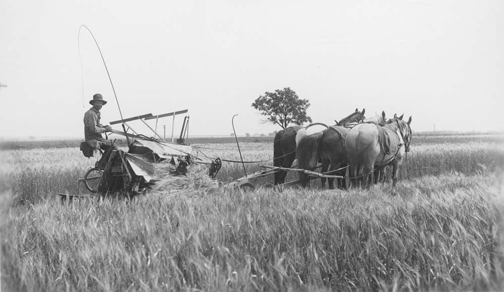Binding wheat with horse-drawn binder