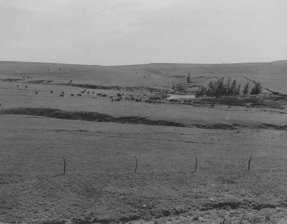 Cattle in Flint Hills