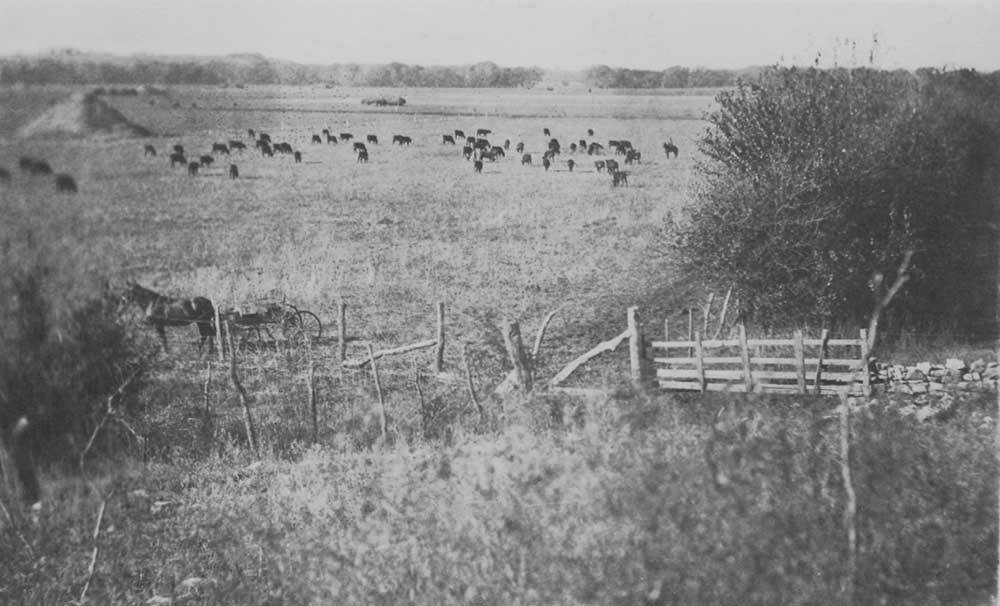 Cattle on a Kansas farm