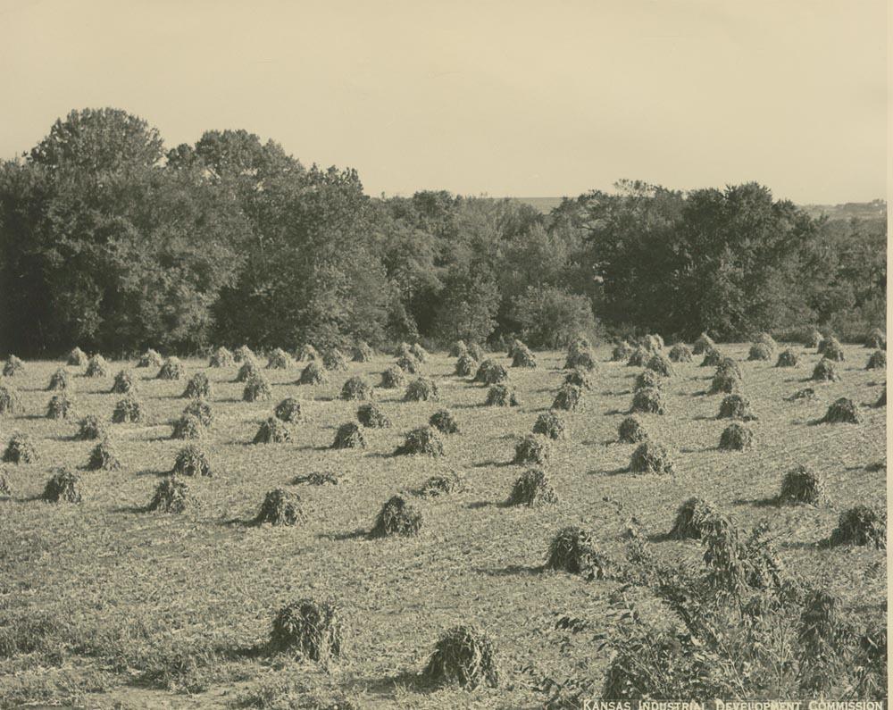 Field of kafir corn