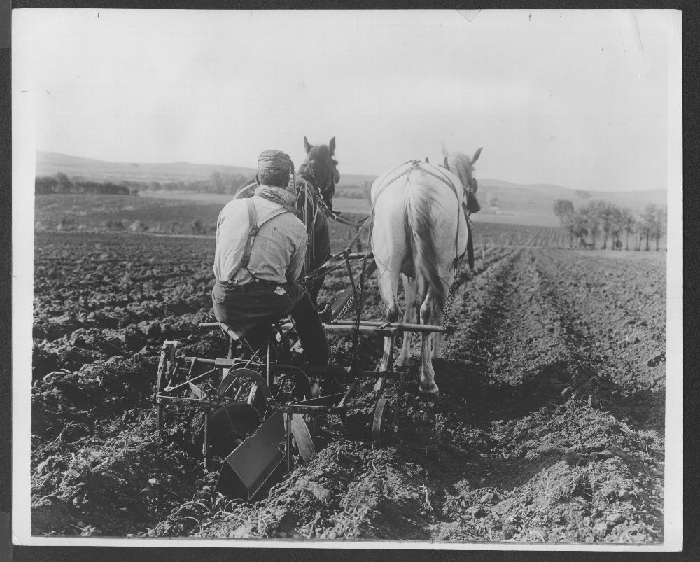 Lister cultivator at work