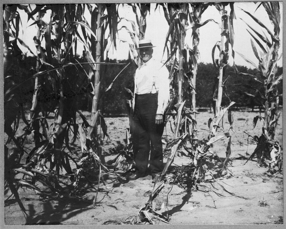 Elam Bartholomew in an experimental corn field