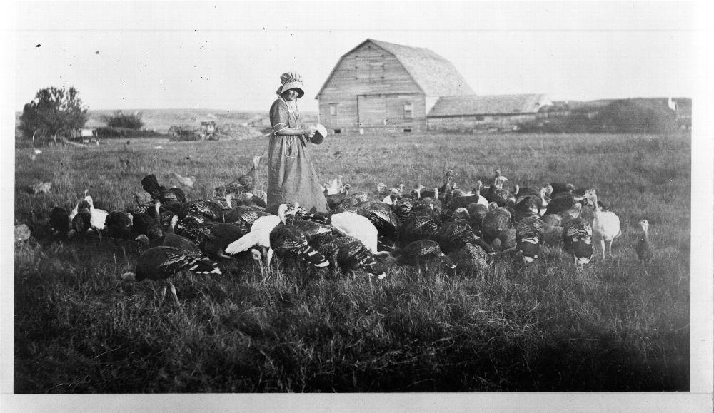 A flock of turkeys, Logan County, Kansas