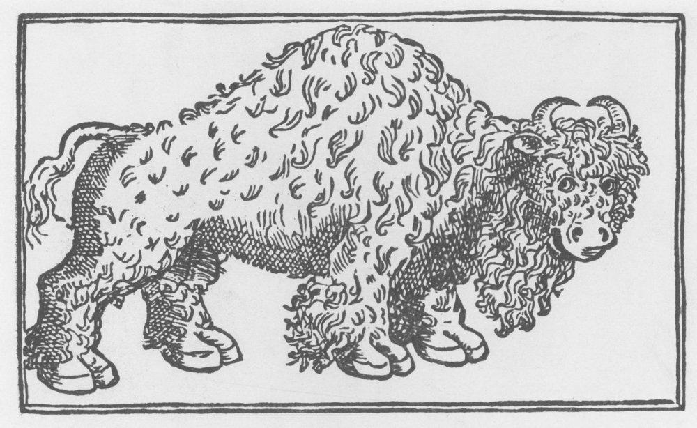 Shaggy buffalo cow