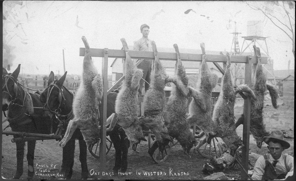 Coyote hunt in western Kansas