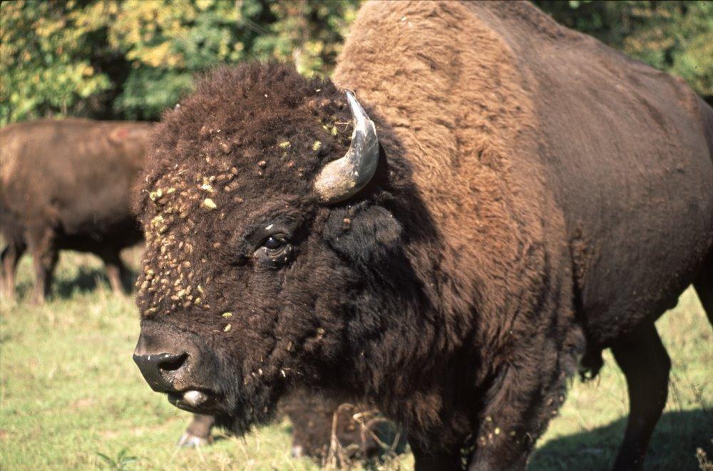 Bison on the Tall Grass Bison Ranch near Auburn, Kansas - 4