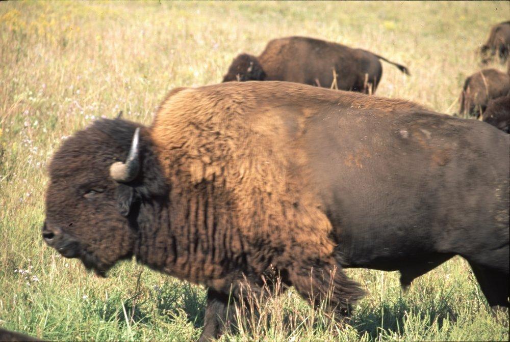 Bison on the Tall Grass Bison Ranch near Auburn, Kansas - 6