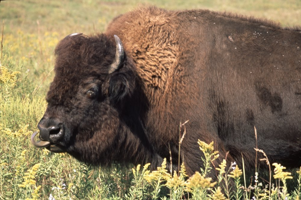 Bison on the Tall Grass Bison Ranch near Auburn, Kansas - 7