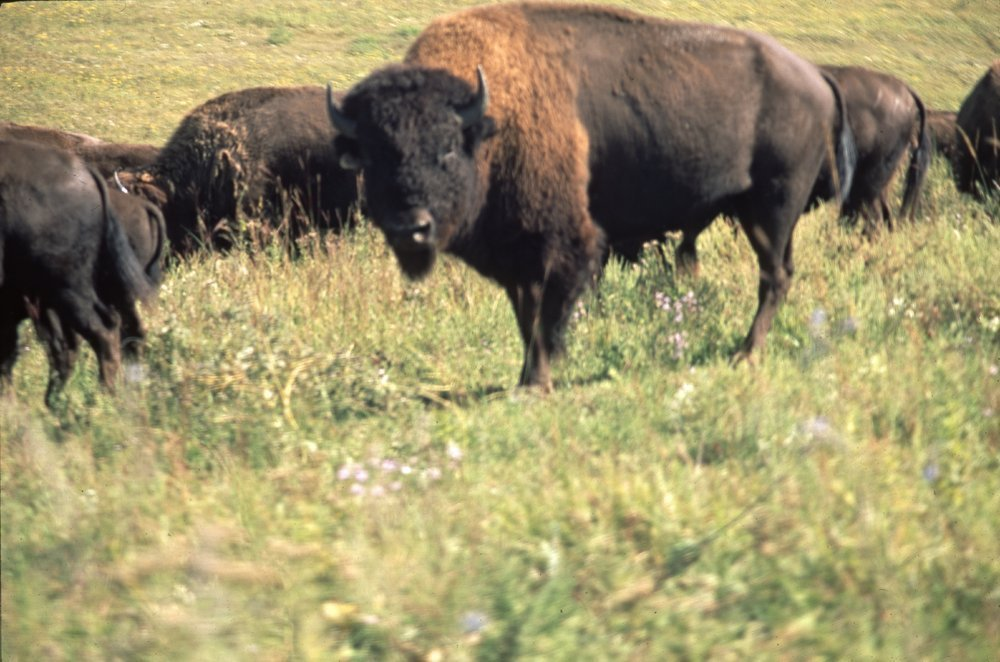 Bison on the Tall Grass Bison Ranch near Auburn, Kansas - 8