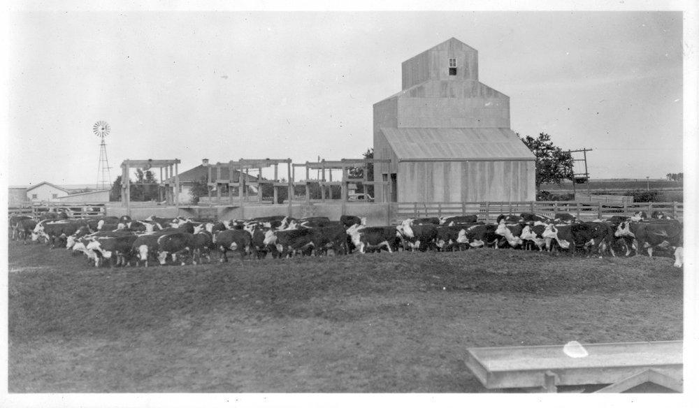 Cattle on an irrigated farm, Finney County, Kansas