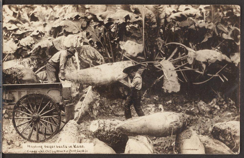 Hauling sugar beets in Kansas - 1