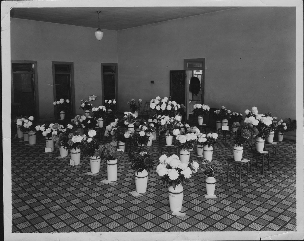 Dr. Charles F. Menninger and his interests - This photograph is of the Oakwood exhibit of peonies which were raised by Dr. C. F. and Flo.  They were the first to raise peonies in Topeka.  One Decoration Day they had 2,000 dozen to sell, according to her book.