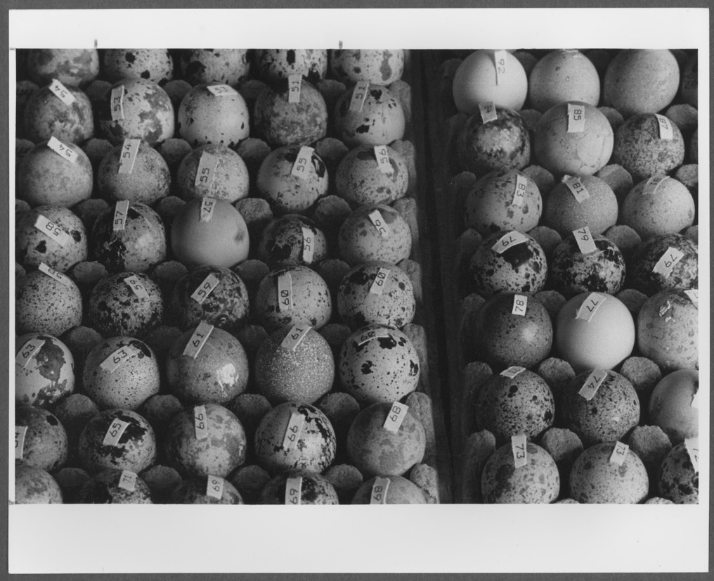 Menninger photograph collection - A photograph of Japanese Quail eggs.  Envelope 688