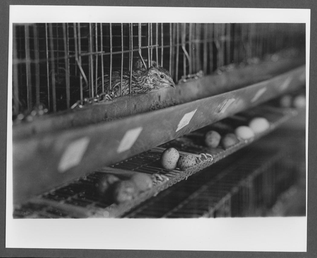 Menninger photograph collection - A photograph of Japanese Quail in their cages and eggs below.  The photograph was taken by Hank Young.  Envelope 688