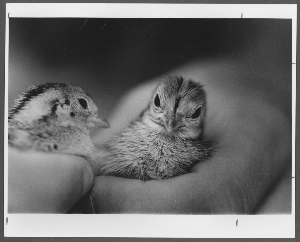 Menninger photograph collection - A photograph of two baby Japanese Quail used for research purposes.  Envelope 688