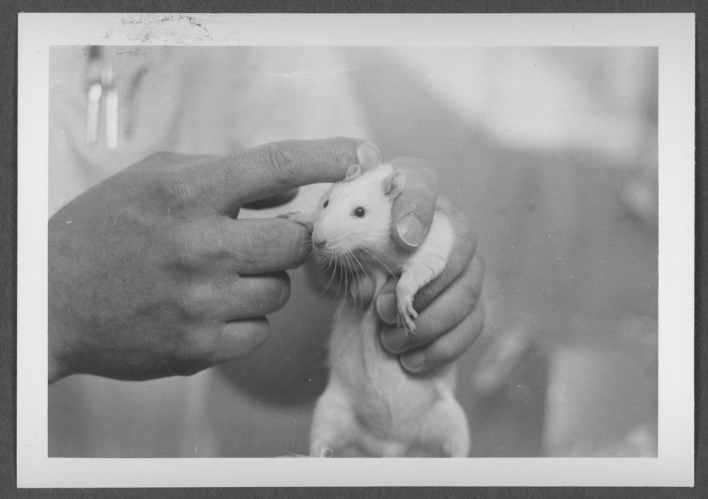 Menninger photograph collection - A photograph of a white rat used for research.  The photograph was taken in 1964.  Envelope 691