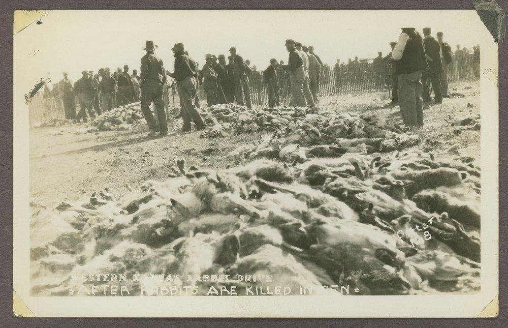Rabbits killed in Western Kansas