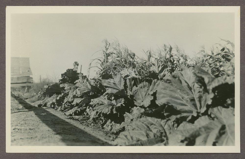 Rhubarb grown by Henry F. Seidelman in Kearny County, Kansas - 1