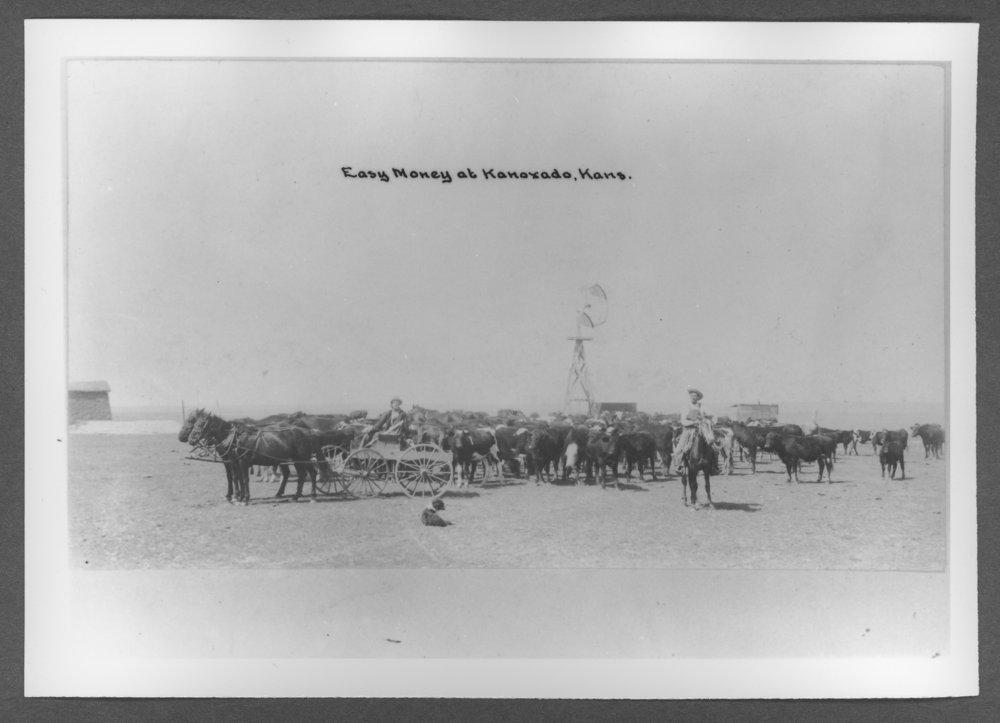 Scenes of Sherman County, Kansas - Cattle at Kanorado, Kansas.