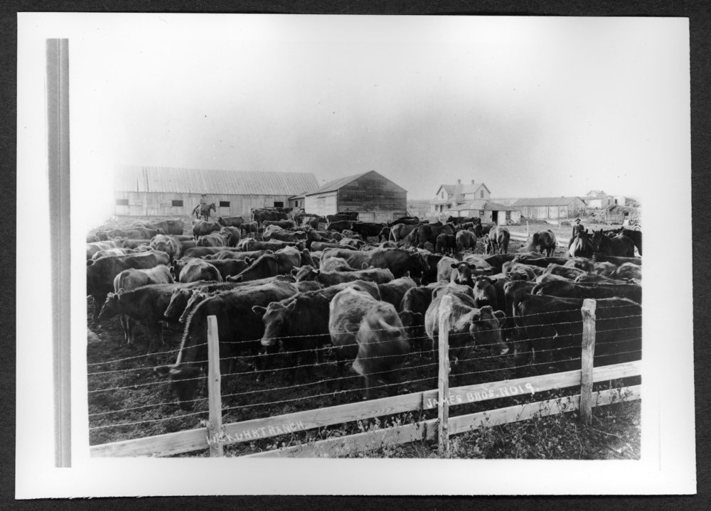 Scenes of Sherman County, Kansas - Cattle on William Kuhrt Ranch.