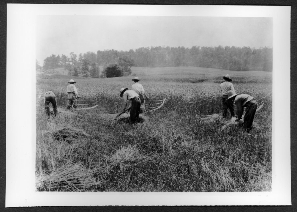 Scenes of Sherman County, Kansas - Farmers using the cythe and cradle.