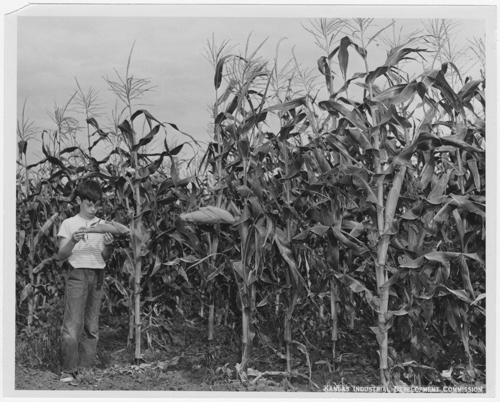 Corn field - 1