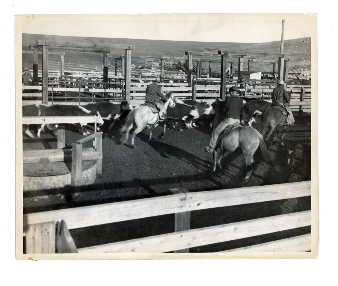 Cutting cattle at the Cassoday stock pens, Cassoday, Butler County, Kansas - front