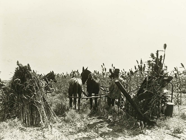 Harvesting kafir corn, Comanche County, Kansas