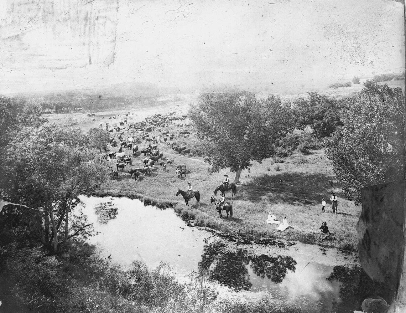 Cattle grazing in Comanche County, Kansas