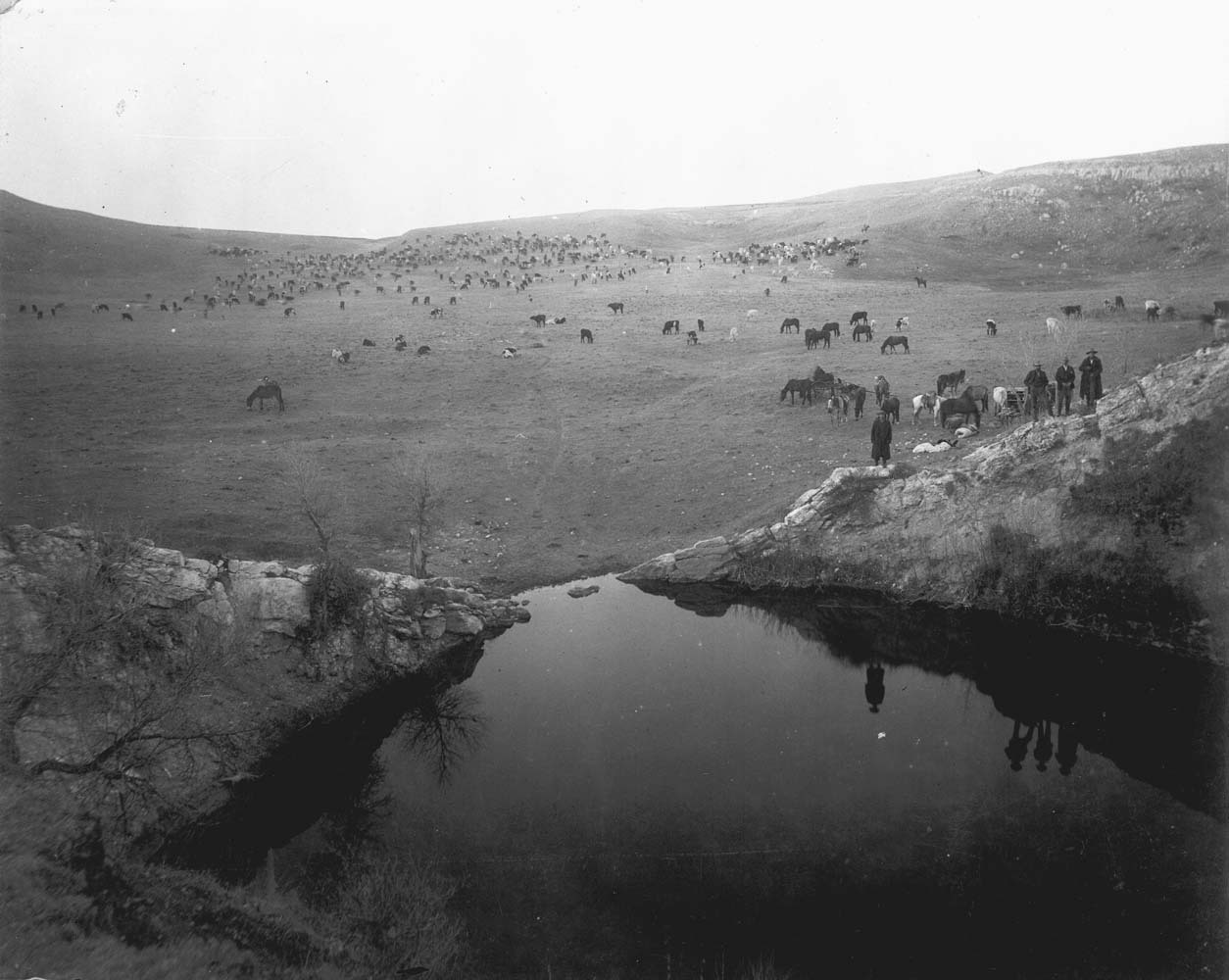 Cattle herd at St. Jacobs Well, Clark County, Kansas