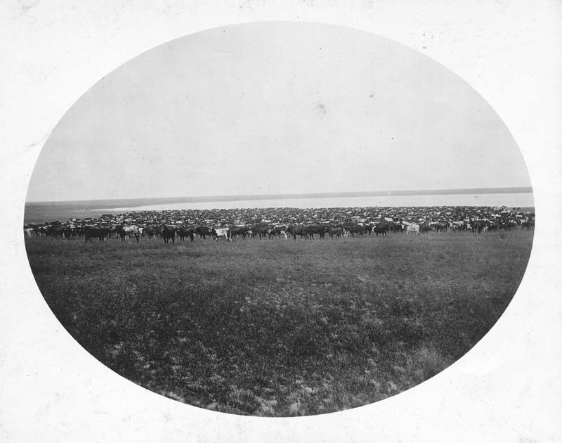 A herd of 5,000 head of cattle owned by Vale and Gates