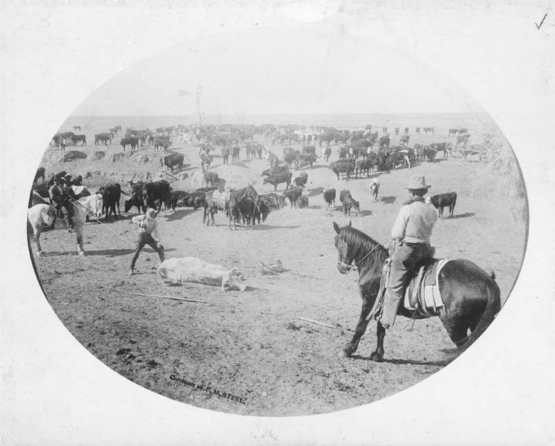 Cattle branding on the Garst ranch south of Coldwater, Kansas