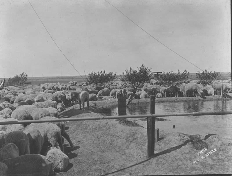 Sheep near a man-made stock pond
