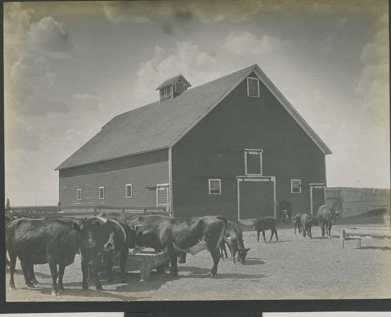 Cattle in a farm corral