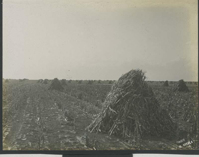 Shocks of kafir corn