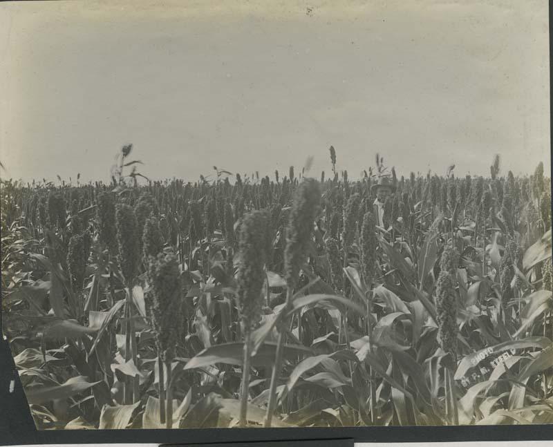 Farmer standing in a field of kafir corn