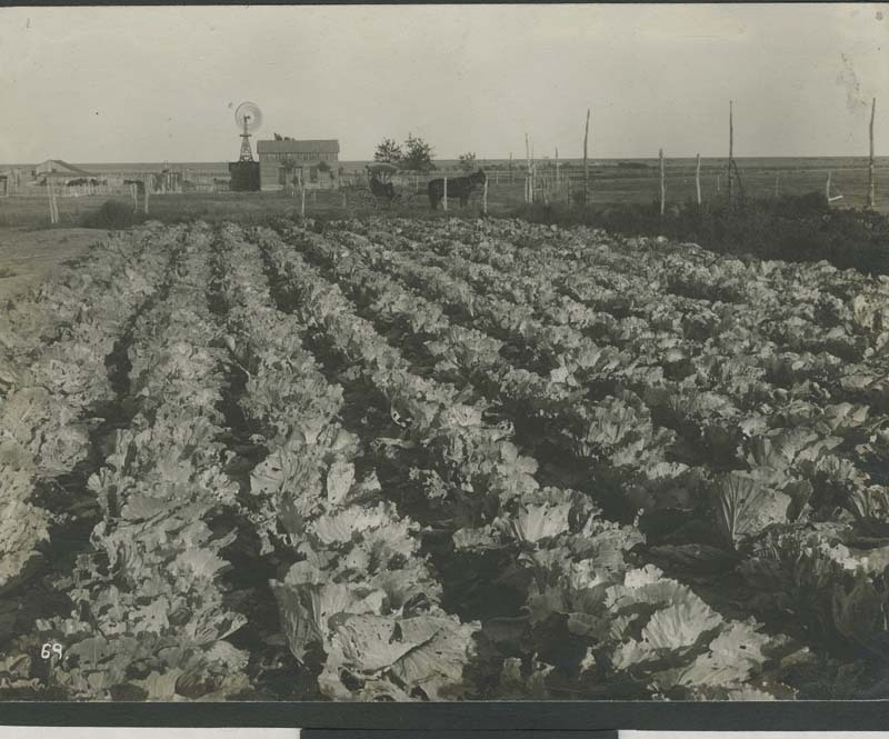 Cabbages on a Haskell County, Kansas homestead