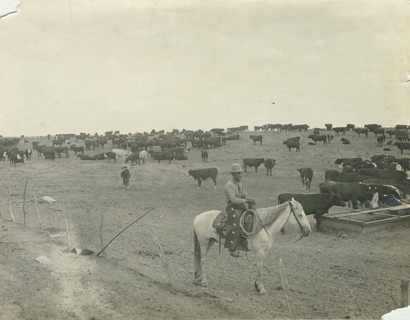 Cowboy on horseback with a herd of cattle