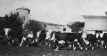 Hereford cattle in feedlot at Rogler Ranch