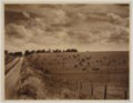 John Wesley McManigal photographs - Photograph showing a herd of cattle in a field.