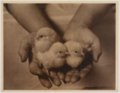 John Wesley McManigal photographs - Photograph of three chicks in a person