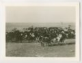 Cattle, Peter Robidoux ranch, Wallace County, Kansas