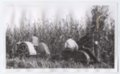 Haskell Institute students working on a farm, Lawrence, Kansas - 3