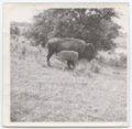 Photos for Tiblow book - Photograph: Buffalos