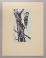 Portfolio of Kansas Birds - Hairy Woodpecker