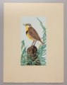 Portfolio of Kansas Birds - Meadowlark