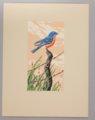 Portfolio of Kansas Birds - Bluebird