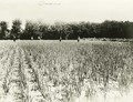 Onion field possibly in Comanche County, Kansas
