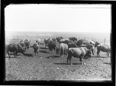 C.J. Jones' buffalo herd, Garden City, Finney County, Kansas