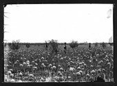Onion field on the Diesem farm, Finney County, Kansas